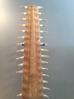 Mid 20th C Sawfish Rostrum on Cast Iron Base